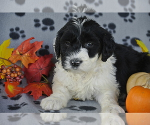 Medium Sheepadoodle