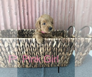 Goldendoodle-Poodle (Miniature) Mix Puppy for sale in ALBIA, IA, USA