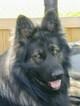 Small #7 German Shepherd Dog