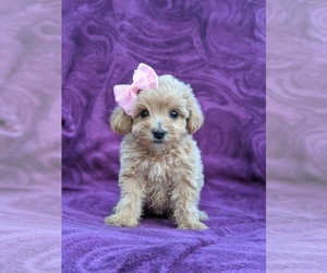 Maltipoo Puppy for sale in LINCOLN UNIV, PA, USA