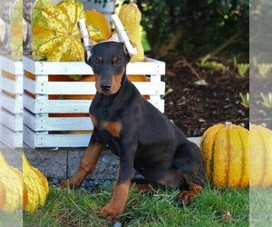 Doberman Pinscher Puppy for sale in NARVON, PA, USA
