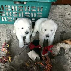 Golden Retriever Puppy For Sale in HUNTLEY, IL, USA