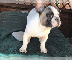 French Bulldog Dog for Adoption in MILLVILLE, Massachusetts USA