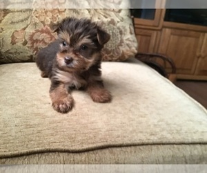 Yorkshire Terrier Puppy for Sale in MOUNT CLEMENS, Michigan USA
