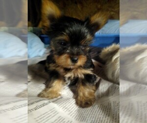 Yorkshire Terrier Puppy for sale in LEBANON, MO, USA