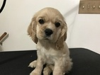 Cocker Spaniel Puppy For Sale in WICHITA, KS