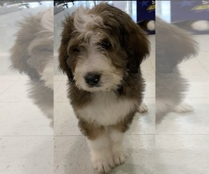 Bernedoodle Puppy for sale in COBALT CITY, MO, USA
