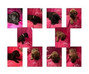 Dogue de Bordeaux-Great Dane Mix Puppy for sale in MBORO, TN, USA