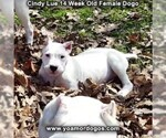 Small Photo #209 Dogo Argentino Puppy For Sale in PINEVILLE, MO, USA