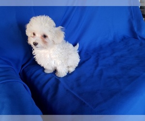Maltipoo Puppy for sale in WHITTIER, CA, USA