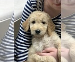 Puppy 3 Goldendoodle