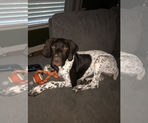 German Shorthaired Pointer Puppy for sale in N CHESTERFLD, VA, USA