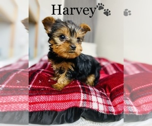 Yorkshire Terrier Puppy for sale in COOKEVILLE, TN, USA