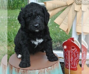 Bernedoodle Puppy for sale in GREENCASTLE, PA, USA