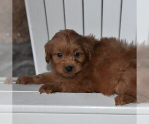 Goldendoodle-Poodle (Miniature) Mix Puppy for sale in MIFFLINTOWN, PA, USA