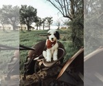 Sheepadoodle Puppy For Sale in KILLDEER, ND, USA