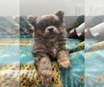Small Photo #6 Pomeranian Puppy For Sale in KEAAU, HI, USA
