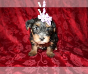 Yorkshire Terrier Puppy for sale in SOUTH BEND, IN, USA