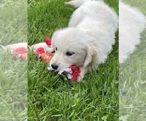 Golden Retriever Puppy for Sale in RICHMOND, Illinois USA