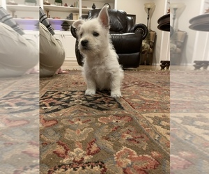 West Highland White Terrier Puppy for Sale in PLAINVIEW, Texas USA