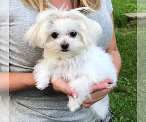 Maltese Puppy for sale in GBG, PA, USA