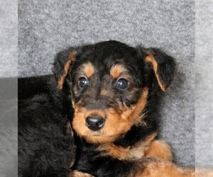 Airedale Terrier Puppy for sale in HOLTWOOD, PA, USA