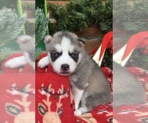 Siberian Husky Puppy for sale in BEAVER, OH, USA