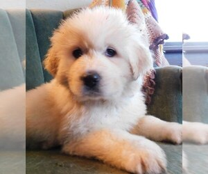 Great Pyrenees Puppy for sale in PULLMAN, WA, USA