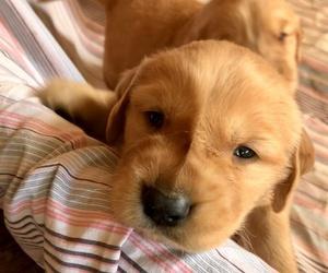 Golden Retriever Puppy for sale in BELFAIR, WA, USA