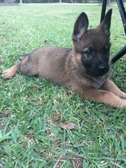 Import GSD Puppies