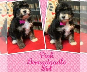 Bernedoodle-Bernese Mountain Dog Mix Puppy for Sale in DALE, Indiana USA