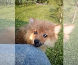 Pomeranian Dog for Adoption in WINCHESTER, Ohio USA