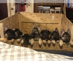 German Shepherd Dog Puppy For Sale in GILMORE, MO, USA