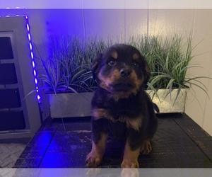 Rottweiler Puppy for sale in BASE LINE, CA, USA