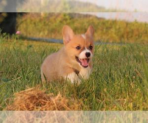 Pembroke Welsh Corgi Puppy for Sale in FORT MADISON, Iowa USA