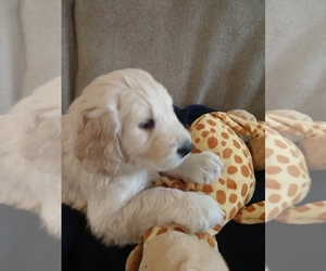 Goldendoodle Puppy for sale in BUFORD, GA, USA