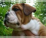 Puppy 6 Beabull