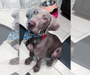 Weimaraner Puppy for sale in RUSKIN, FL, USA