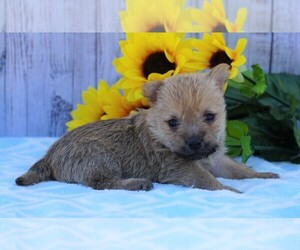 Cairn Terrier Dog for Adoption in FREDERICKSBG, Ohio USA