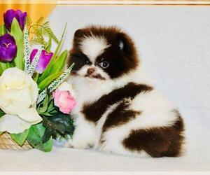 Pomeranian Puppy for sale in SUNNY ISL BCH, FL, USA