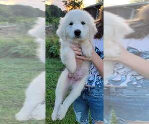 Great Pyrenees Puppy for sale in MOORESVILLE, NC, USA