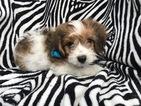 Cavachon Puppy For Sale in PEACH BOTTOM, PA, USA