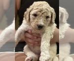 Puppy 7 Goldendoodle-Poodle (Standard) Mix