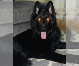 German Shepherd Dog Puppy for sale in JEFFERSON, OR, USA