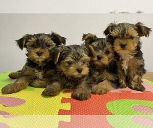 Yorkshire Terrier Puppy for sale in RHOADESVILLE, VA, USA