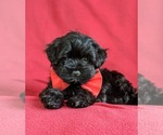 Small #3 Havanese-Poodle (Toy) Mix