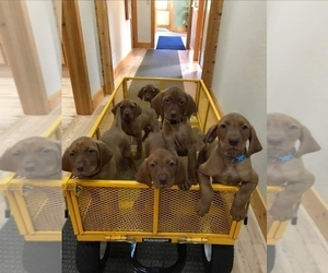 Vizsla Puppy for Sale in NEW YORK MILLS, Minnesota USA