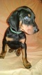 Puppy 3 Doberman Pinscher