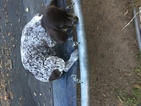 5 German Shorthair Pointer Puppies