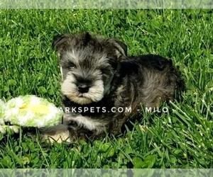 Schnauzer (Miniature) Puppy for sale in CEDAR GAP, MO, USA